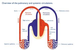 Sistem Peredaran Darah Kecil